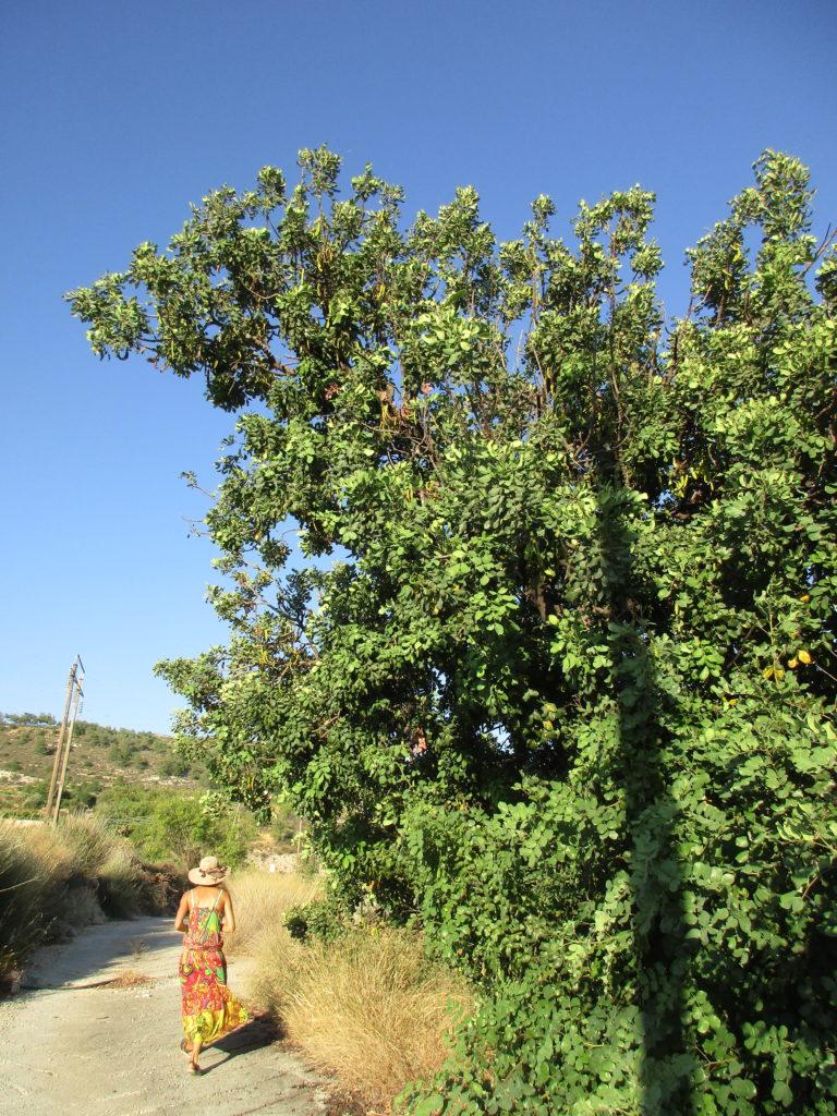 рожковое дерево carob